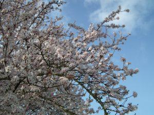 White cherry blossom against a blue sky.